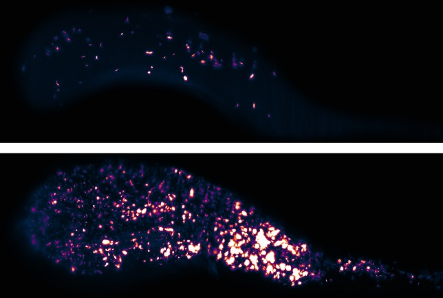 Bacteria (false colored) in the gut of a live larval zebrafish. Each is a projection of a 3D image, part of a series capturing the first 16 hours of colonization of an initially empty intestine. Over this period a few intrepid individual bacteria divide into several thousand. These two images are separated in time by five hours.